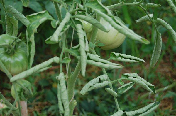 скрутились листья у помидоров что делать