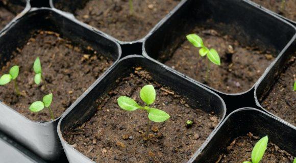 Когда сажать баклажаны на рассаду в 2020 году по лунному календарю в марте: сроки посева семенами в зависимости от сорта и региона