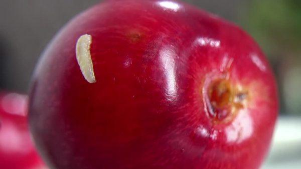 Черви в черешне: как бороться и чем обработать черешню от червей
