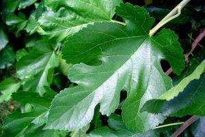 Листья тутовника: лечебные свойства и противопоказания, применение от сахарного диабета, фото, отзывы