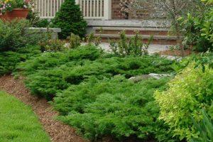 Можжевельники: виды и сорта, фото растений, описания