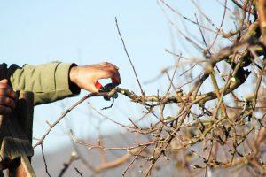 Как обрезать сибирские яблони осенью