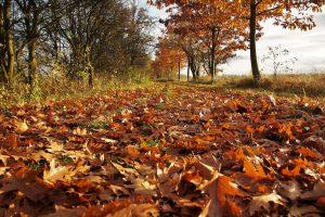 Когда и почему опадают листья осенью с деревьев и какие деревья не сбрасывают листья на зиму