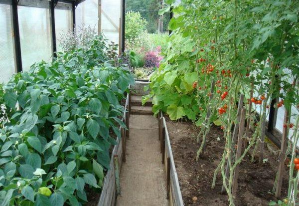 Можно ли сажать перец и помидоры в одной теплице: совместимость, плюсы и минусы соседства