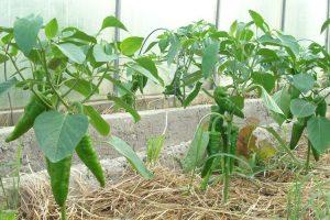 После высадки в теплицу плохо растет перец: причины, что делать, чем подкормить