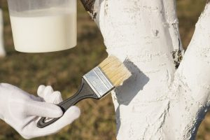 Побелка деревьев осенью: состав, при какой температуре, когда и чем белить