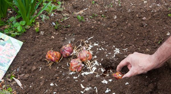 Посадка лилий осенью: когда и как пересадить лилию с учетом благоприятных дней и региона произрастания, техника посадки