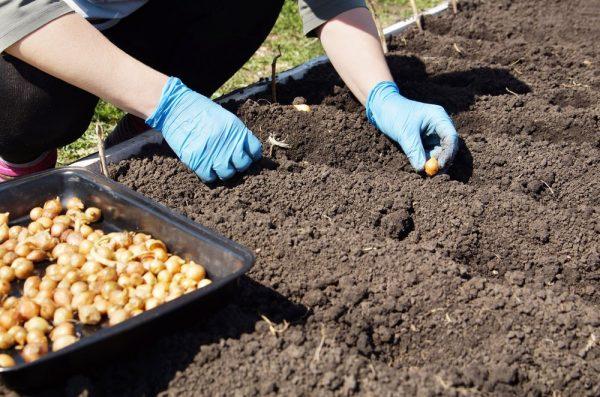 Когда сажать лук под зиму в 2020 году в Подмосковье по лунному календарю: таблица самых благоприятных дней для высадки луковиц в открытый грунт