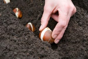 Когда сажать тюльпаны осенью в открытый грунт в 2020 году: благоприятные дни по лунному календарю и по региону