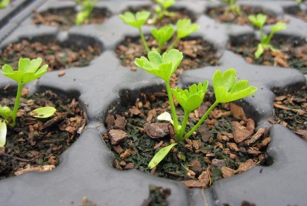 Когда сажать сельдерей на рассаду в 2020 году по лунному календарю: таблица благоприятных дней для посева семян с учетом сорта и региона выращивания