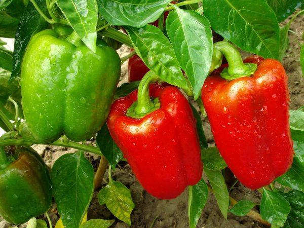 С чем можно, а с чем нельзя сажать сладкий перец: полезные и вредные соседи