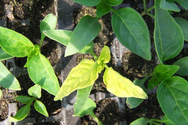 Почему у перца желтеют и опадают листья: что делать, чем подкормить