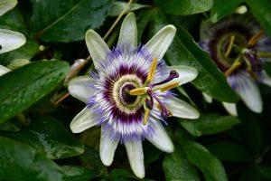 Цветок Пассифлора