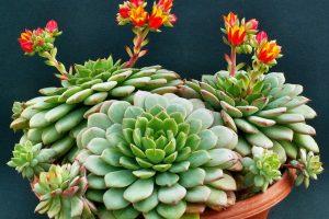 Цветок эхеверия