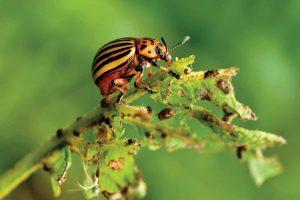 алатар от колорадского жука