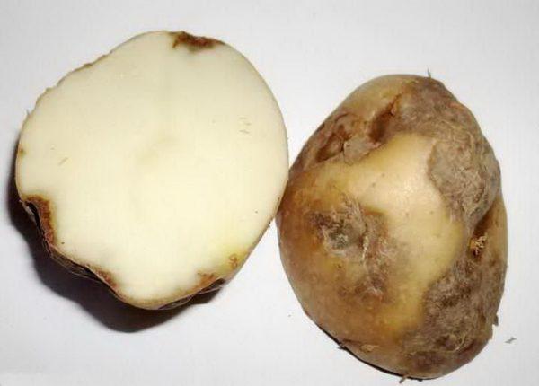 альтенариоз картофеля