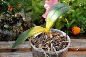 bolnaja orhideja