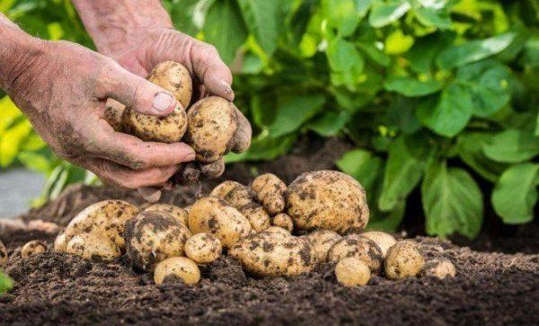 Чем Подкормить Картофель