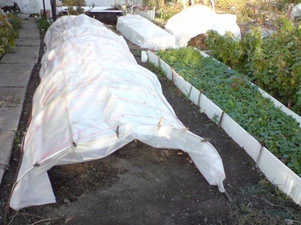 Чем обработать розы осенью перед укрытием на зиму