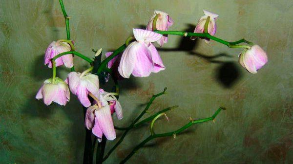 chto-delat-esli-orhideya-zavyala
