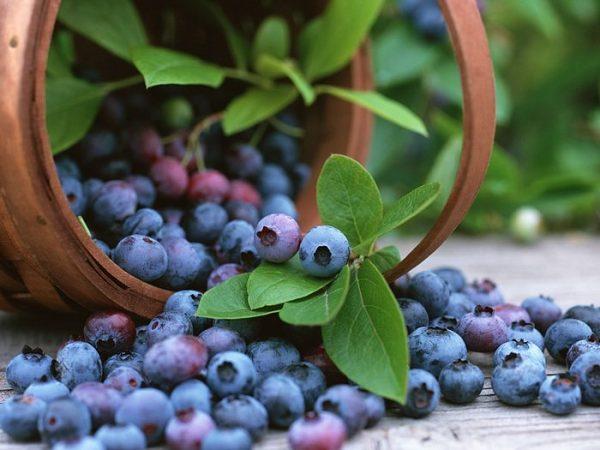 Голубика садовая: посадка и уход, фото, отзывы