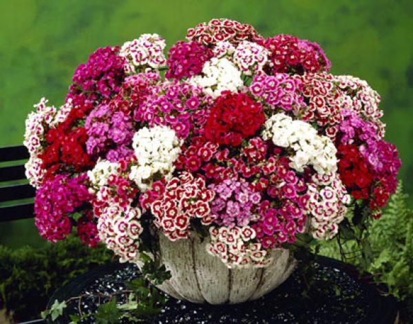 Гвоздика турецкая: выращивание из семян, когда сажать