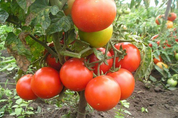 спелые томаты на грядке