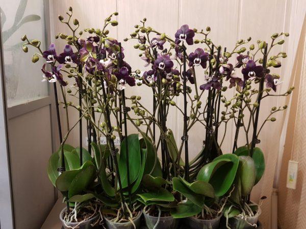Орхидея Каода