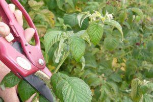 Как обрезать малину осенью, чтобы был хороший урожай