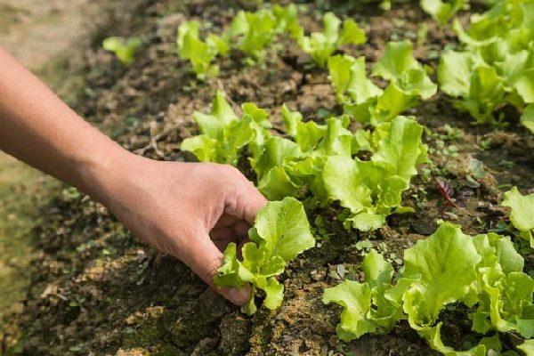 Как сажать салат в открытый грунт семенами