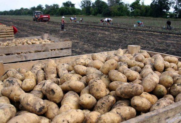 Белорусский картофель