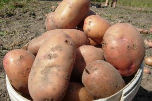 Сорт картофеля Славянка