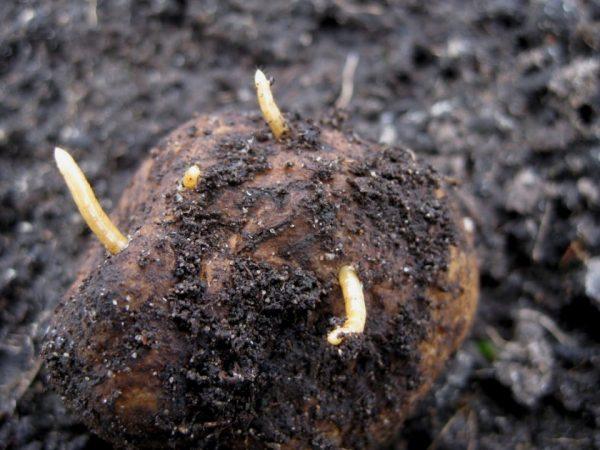 Картофельный Проволочник