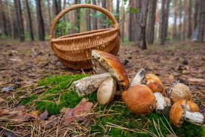 Когда пойдут первые грибы в Подмосковье