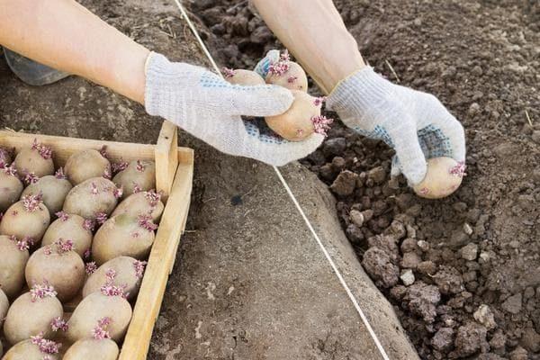 Когда сажать картофель в Подмосковье