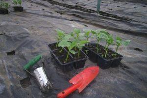 Когда сажать огурцы на рассаду для теплицы