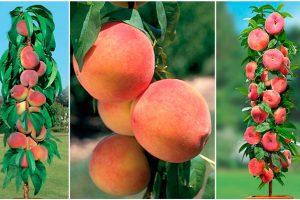 Колоновидные персики