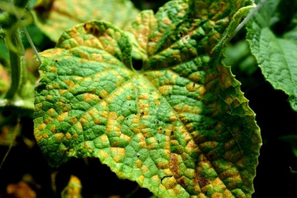 листья огурцов