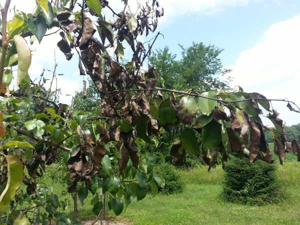 почернели листья груши