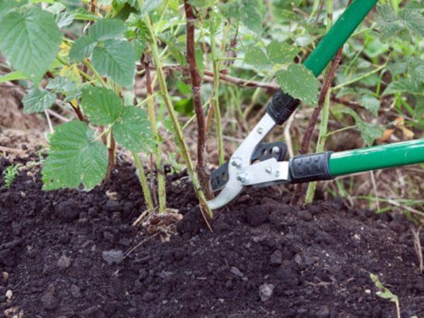 Малина: уход весной, советы бывалых садоводов