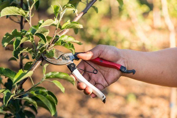Обрезка колоновидных яблонь осенью