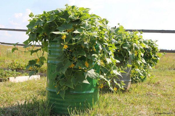 Выращивать огурцы в бочке