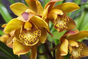 orhideja cimbidium
