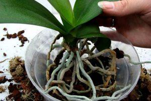 orhideya-peresadka