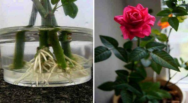 проращивание роз