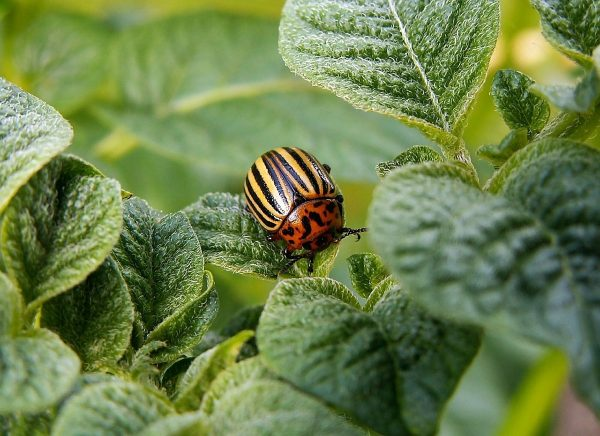 зубр от колорадского жука