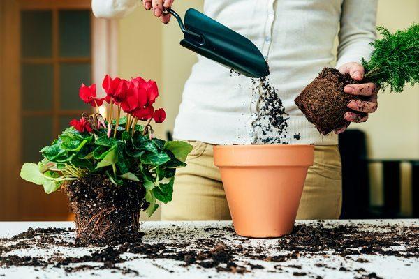 Пересадка комнатных растений по лунному календарю