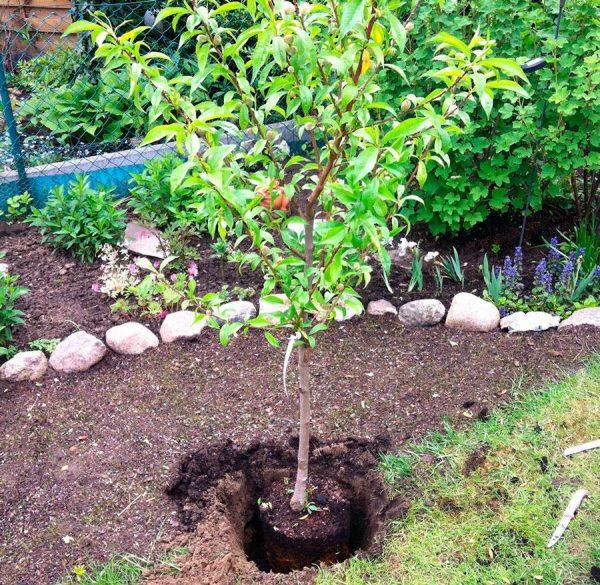 персик весной