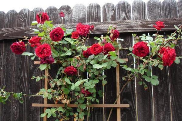 Плетистые розы осенью: уход и подготовка к зимнему укрытию