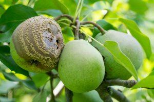 груши гниют прямо на дереве